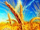 Rusya Bilimsel Araştırma Enstitüsü: Rus Buğdayında Mantar Riski Var