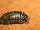 Tespih Böceği Yemek Saman Nezlesini Önler Mi?