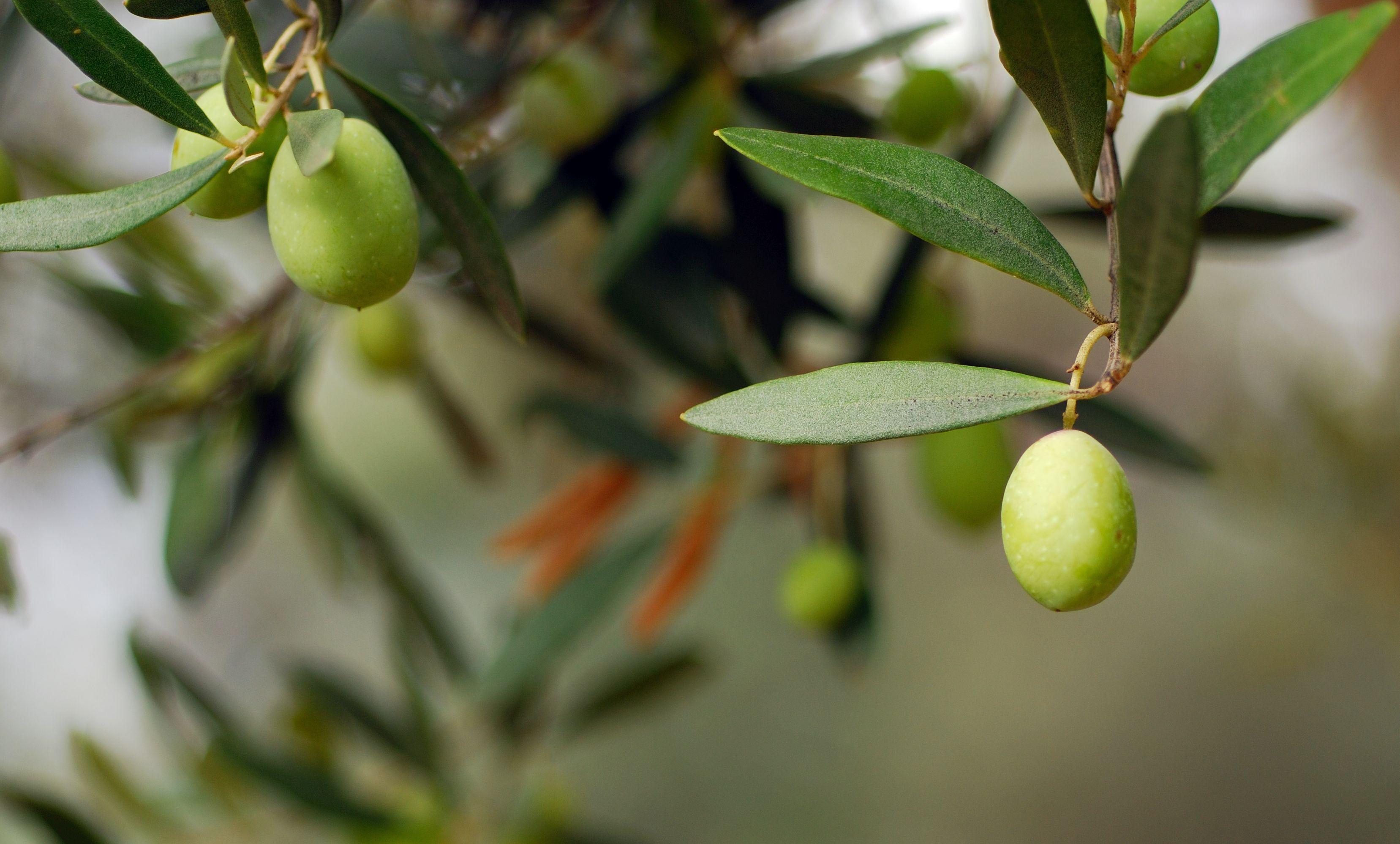 Zeytin yaprağı ile zayıflama yöntemi
