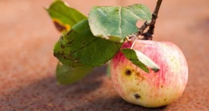 Canan Karatay: Kurtlu meyve yiyin